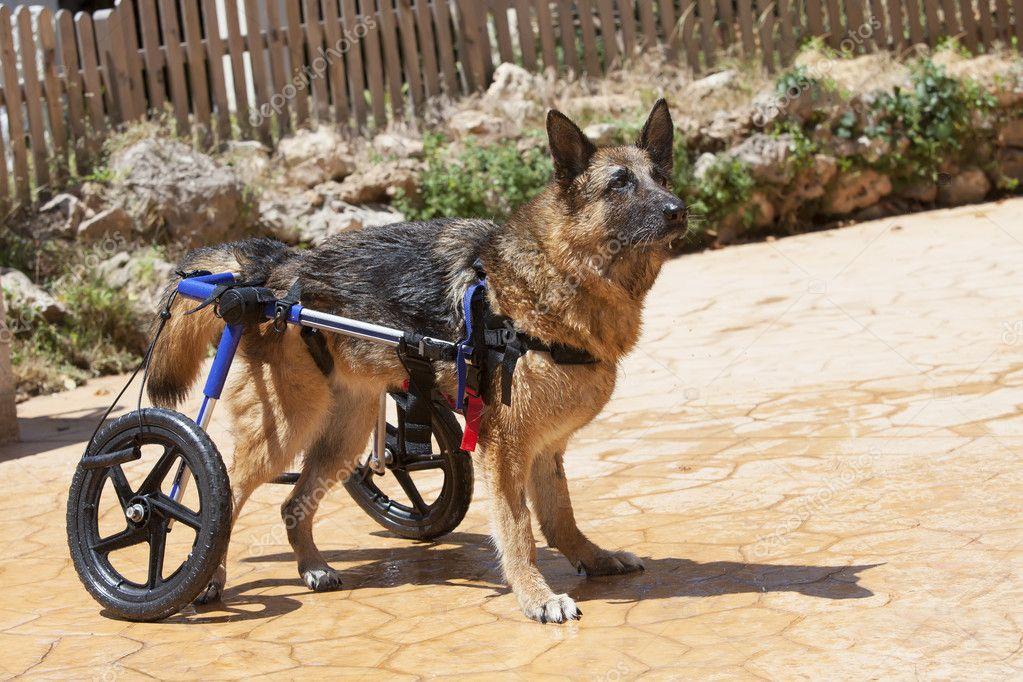 狗狗輪椅 站立訓練